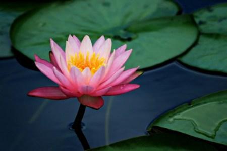 sacred_lotus